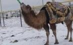 В Мангистауской области верблюда научили пить алкоголь (фото)
